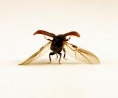 dendroctonus_bark_beetle_aflitto