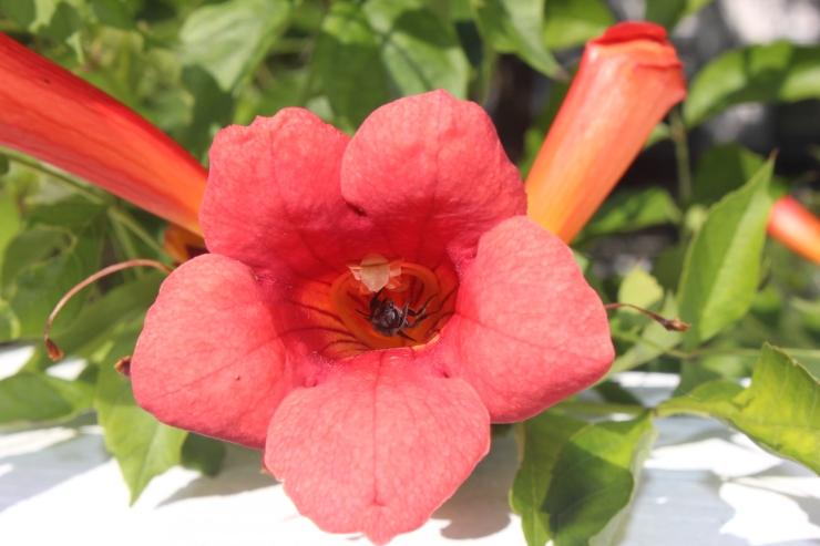 Bignonia capreolata_crossvine_pollinator