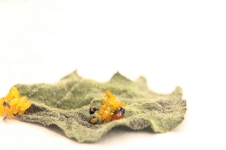 hatching_colorado_potato_beetle