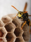 black_and_white_wasp_aflitto
