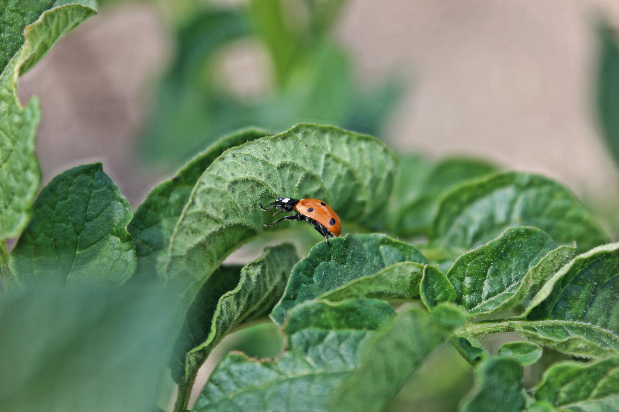 lady-beetle-bio-control