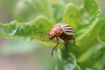 colorado-potato-beetle