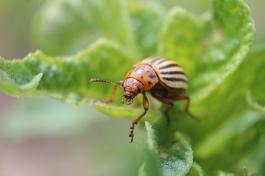 colorado-potato-beetle, nick_aflitto