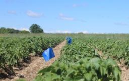 Potato field testing the effects of predator odors on the behavior of Colorado potato beetle