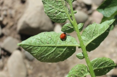 lady_beetle, Coccinella_septempunctata, nick_afliitto
